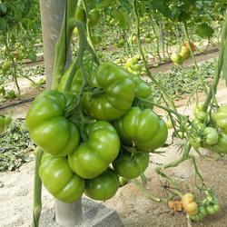 Rama de tomate (variedad rebelión) con doce frutos en cultivo ecológico con riego + O3. Fuente ASP Asepsia (P.I.D. Medioambiental S.L.)