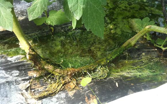 Raices en tronco de planta de tomate (variedad ventero) en cultivo hidropónico con riego + O3. Fuente ASP Asepsia (P.I.D. Medioambiental S.L.)