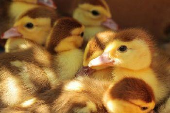Ozono en explotaciones avícolas